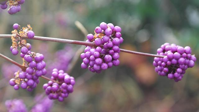 fialové bobule