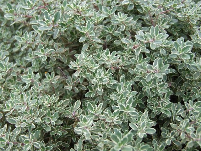 tymián rostlina